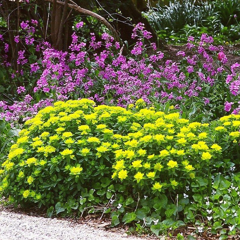 Euphorbia epithymoides - #1