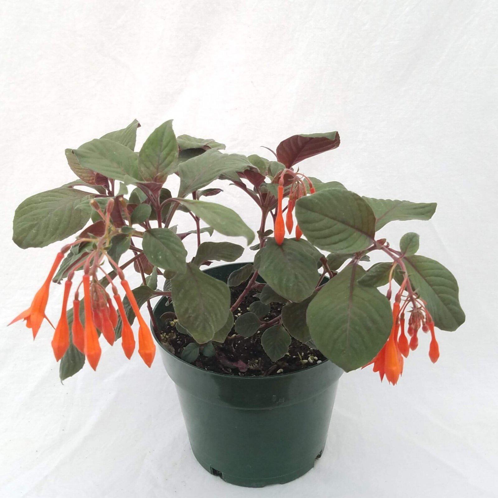Fuchsia 'Gartenmeister' - 6 1/2