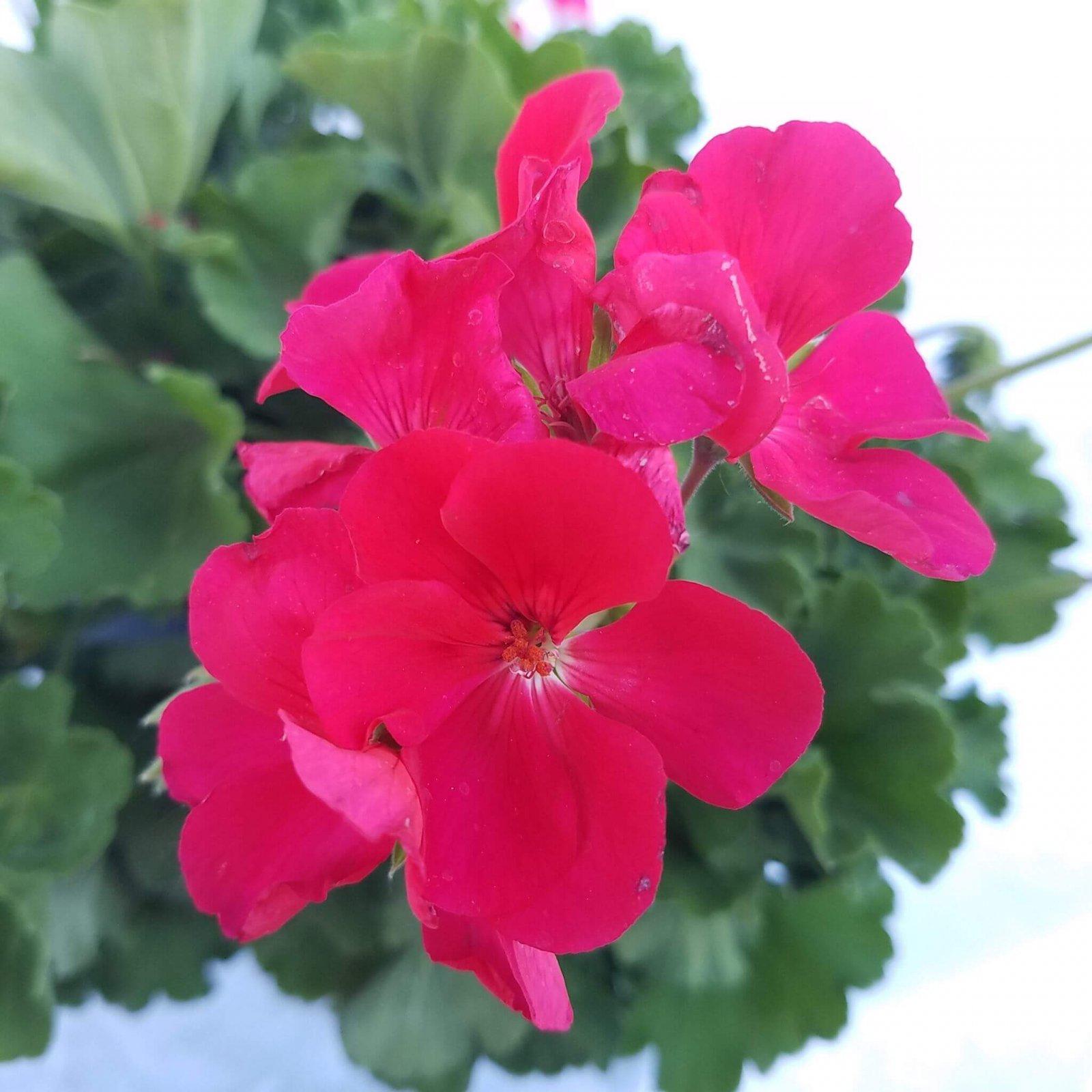 Geranium 'Cumbanita Deep Rose' - 6 1/2