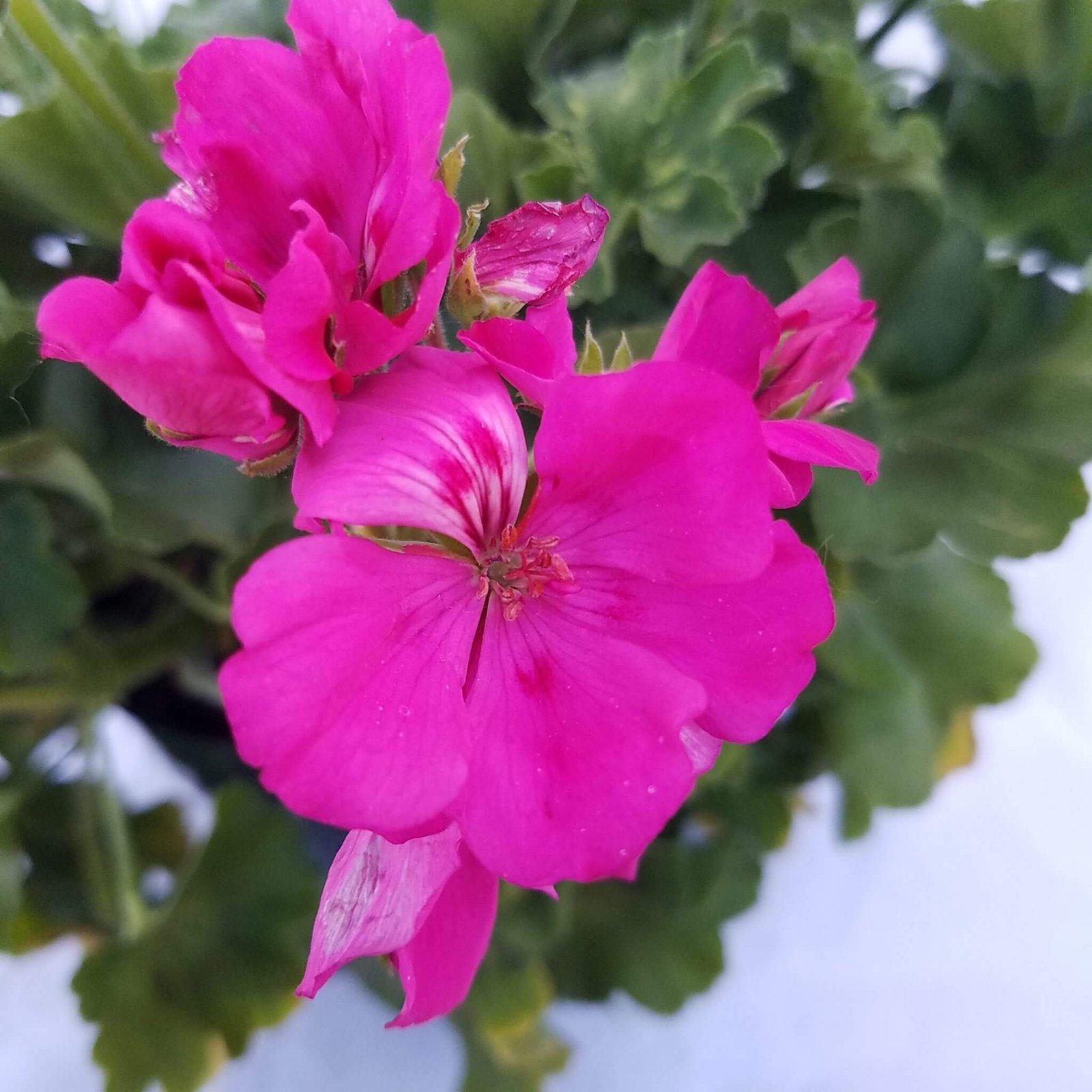 Geranium 'Cumbanita Lilac' - 6 1/2