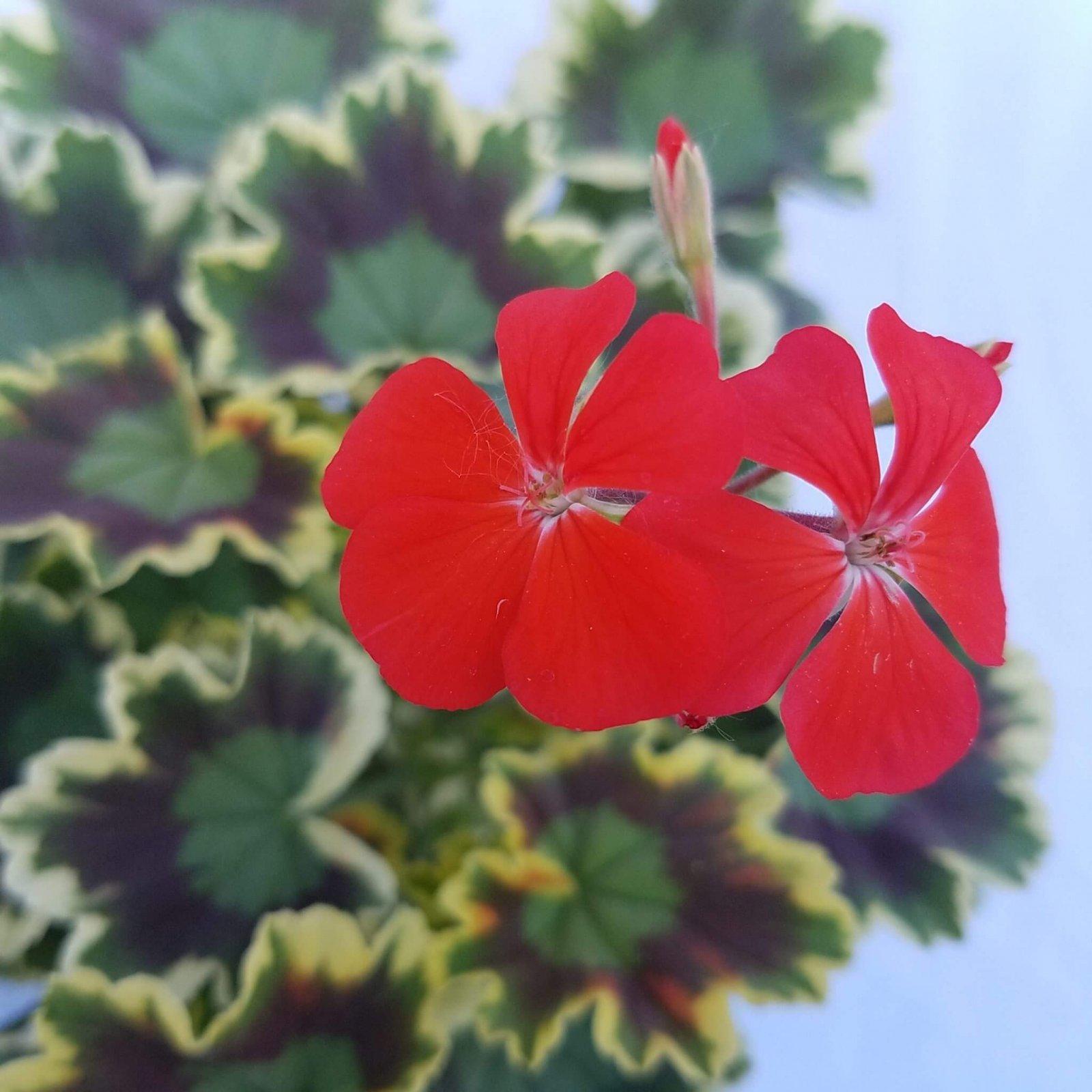 Geranium 'Exotica Tricolor'