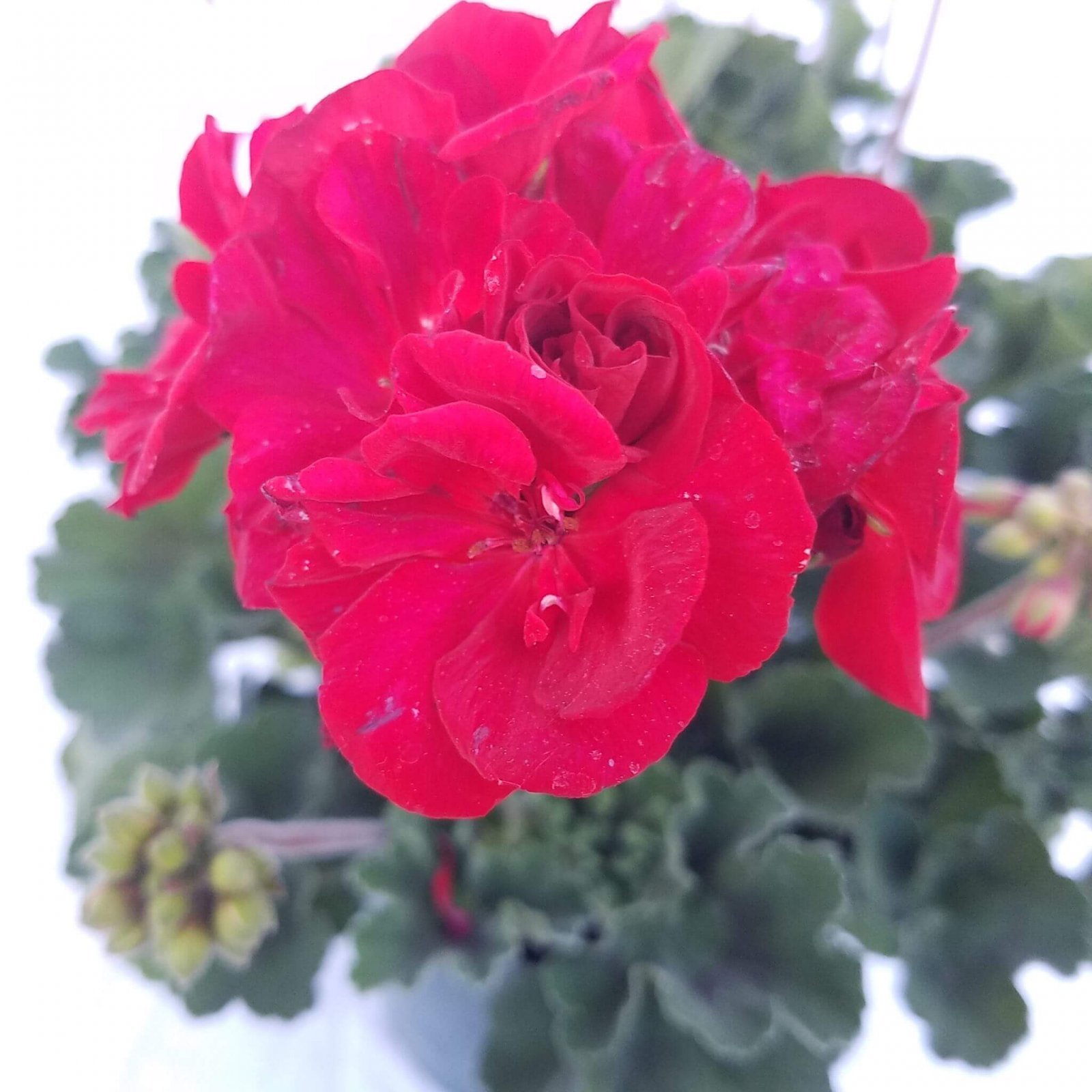 Geranium 'Fantasia Dark Red' - 6 1/2