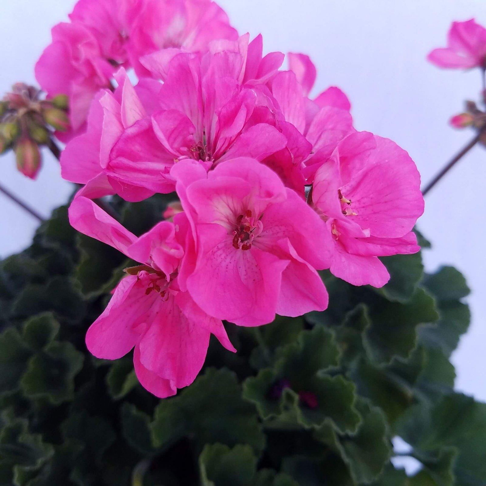 Geranium 'Fantasia Neon Rose' - 6 1/2