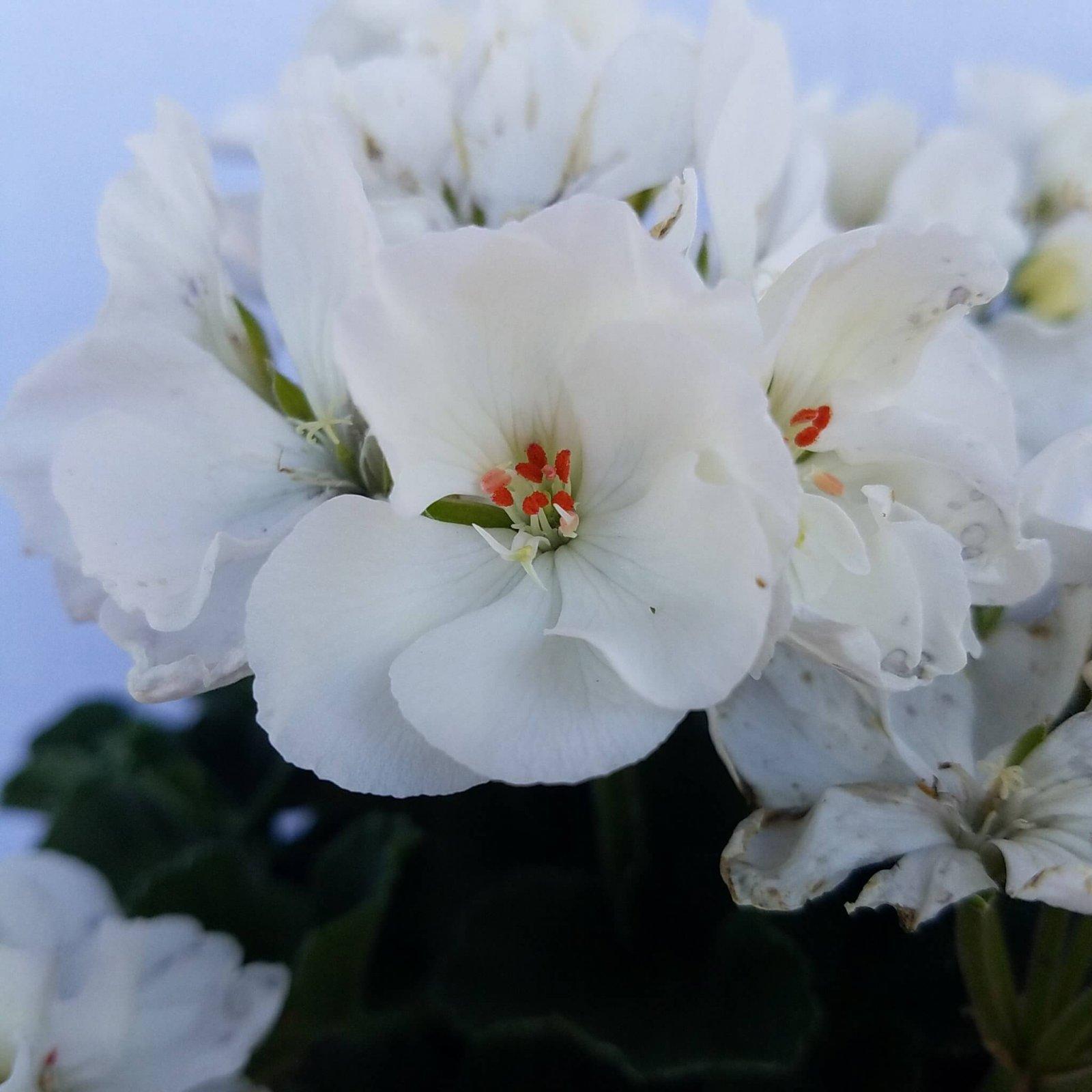 Geranium 'Fantasia White' - 6 1/2