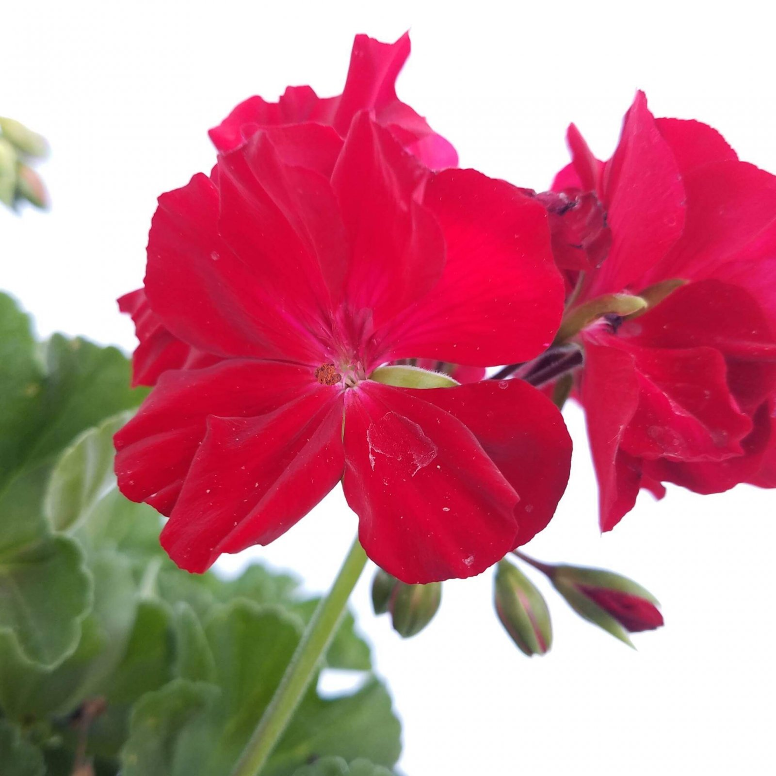 Geranium (ivy) 'Calliope Dark Red' - 6 1/2