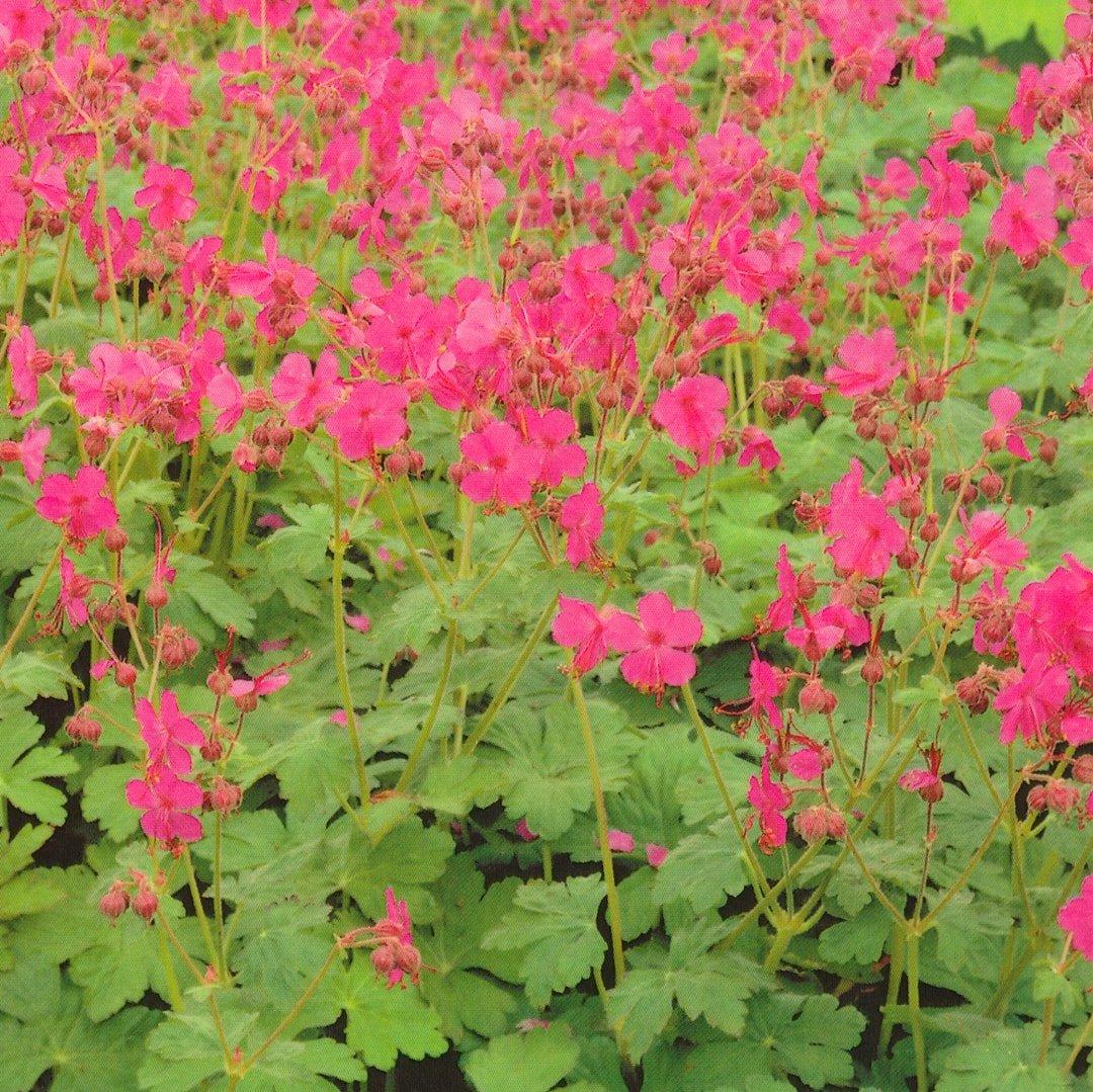 Geranium macrorrhizum 'Ingwersen's Variety' - #1