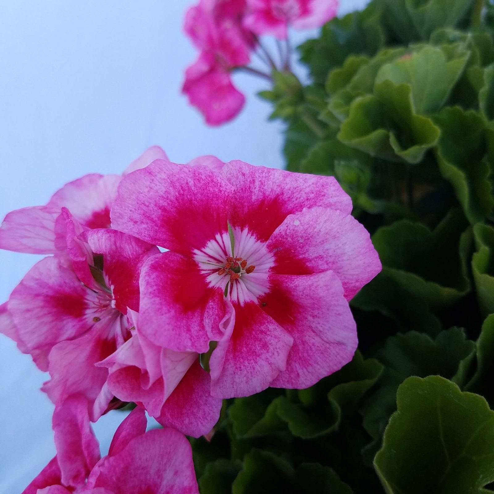 Geranium 'Survivor Hot Pink' - 6 1/2