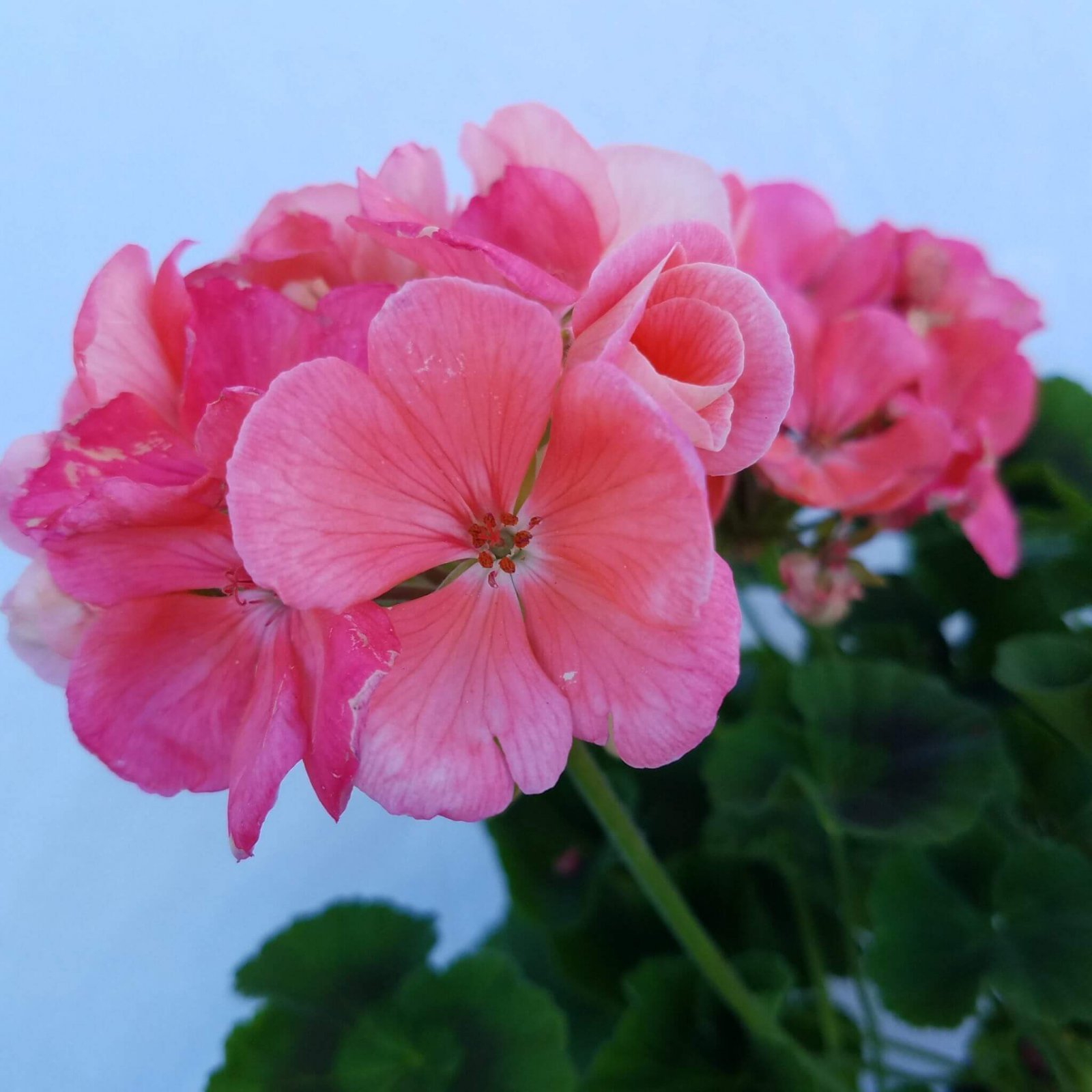 Geranium 'Survivor Salmon Sensation' - 4 1/2