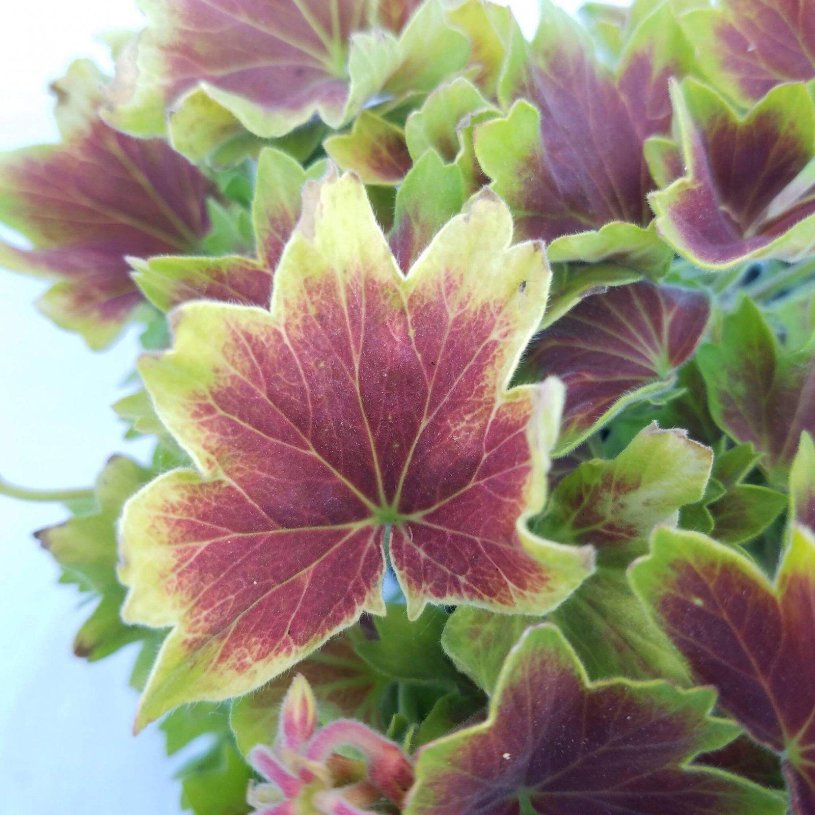 Geranium 'Vancouver' - 4 1/2