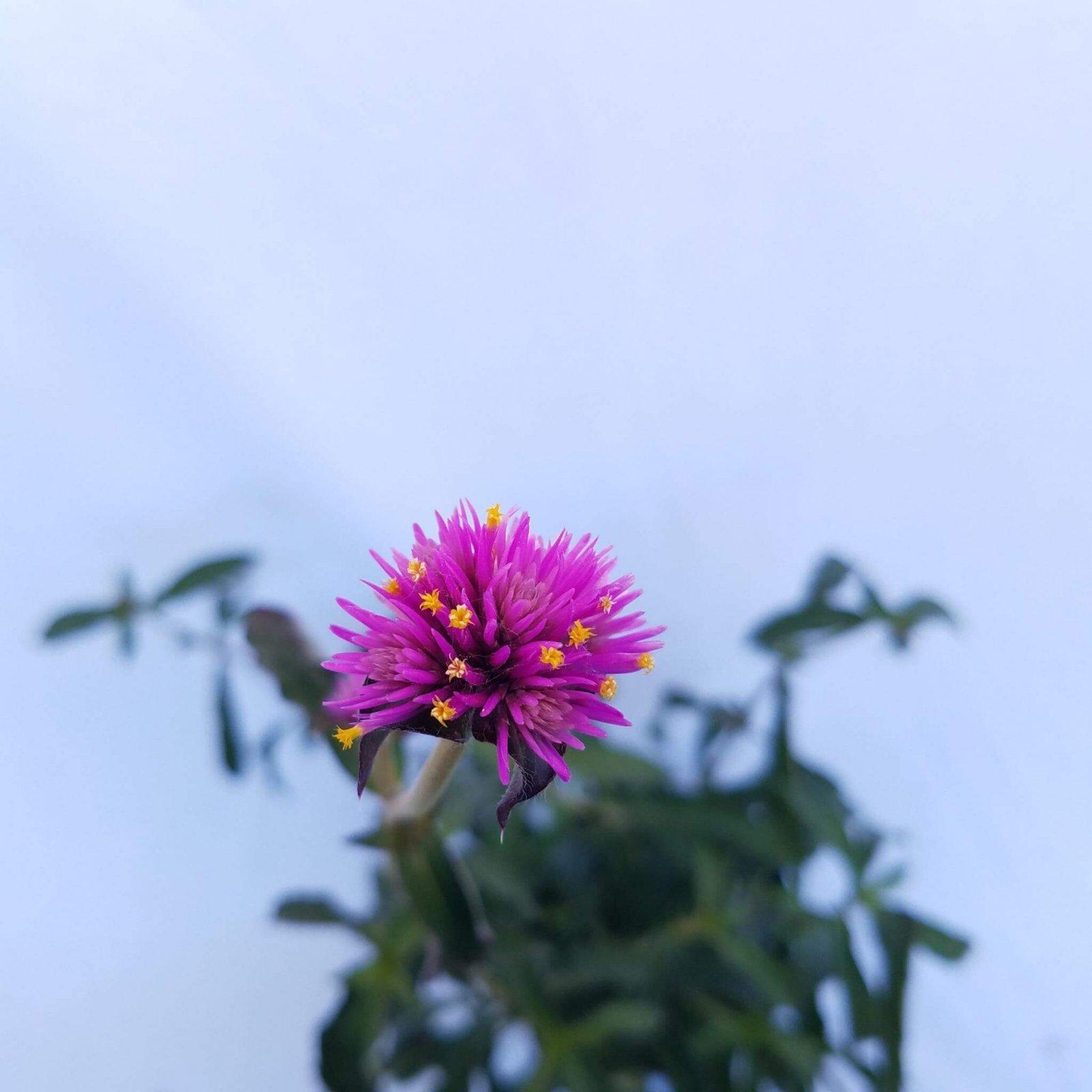 Gomphrena 'Gnome Purple' - 4 1/2