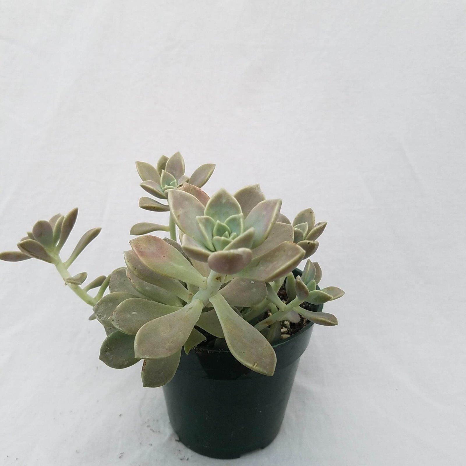 Graptopetalum paraguayense - 4 1/2