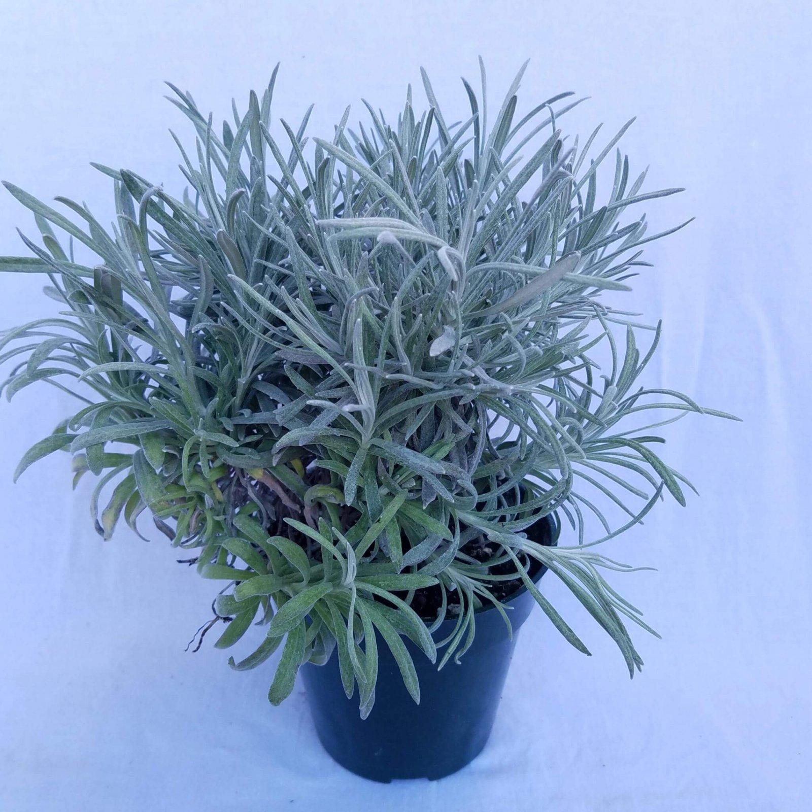Helichrysum petiolatum 'Icicles' - 4 1/2