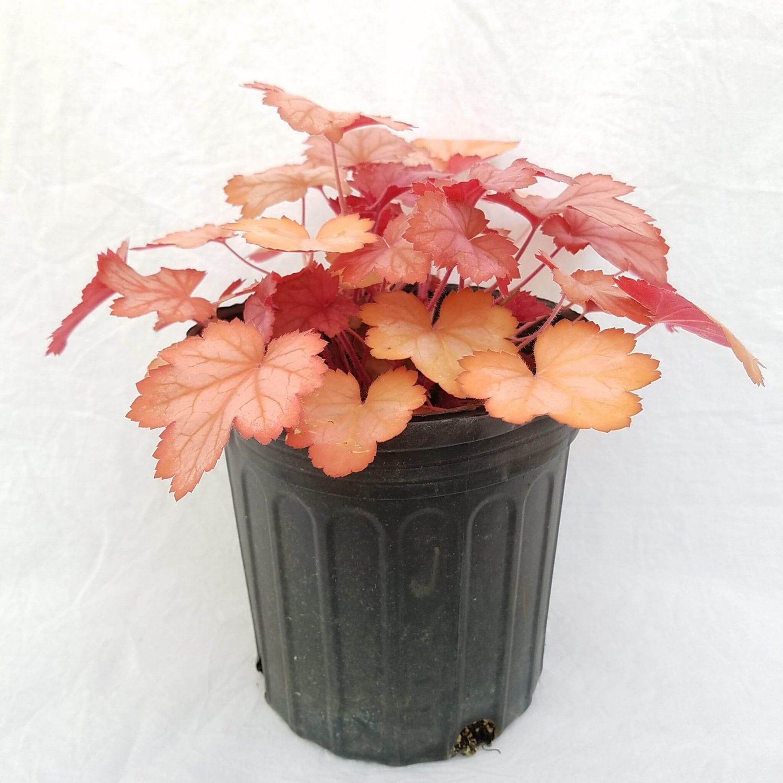 Heuchera 'Georgia Peach' - #1