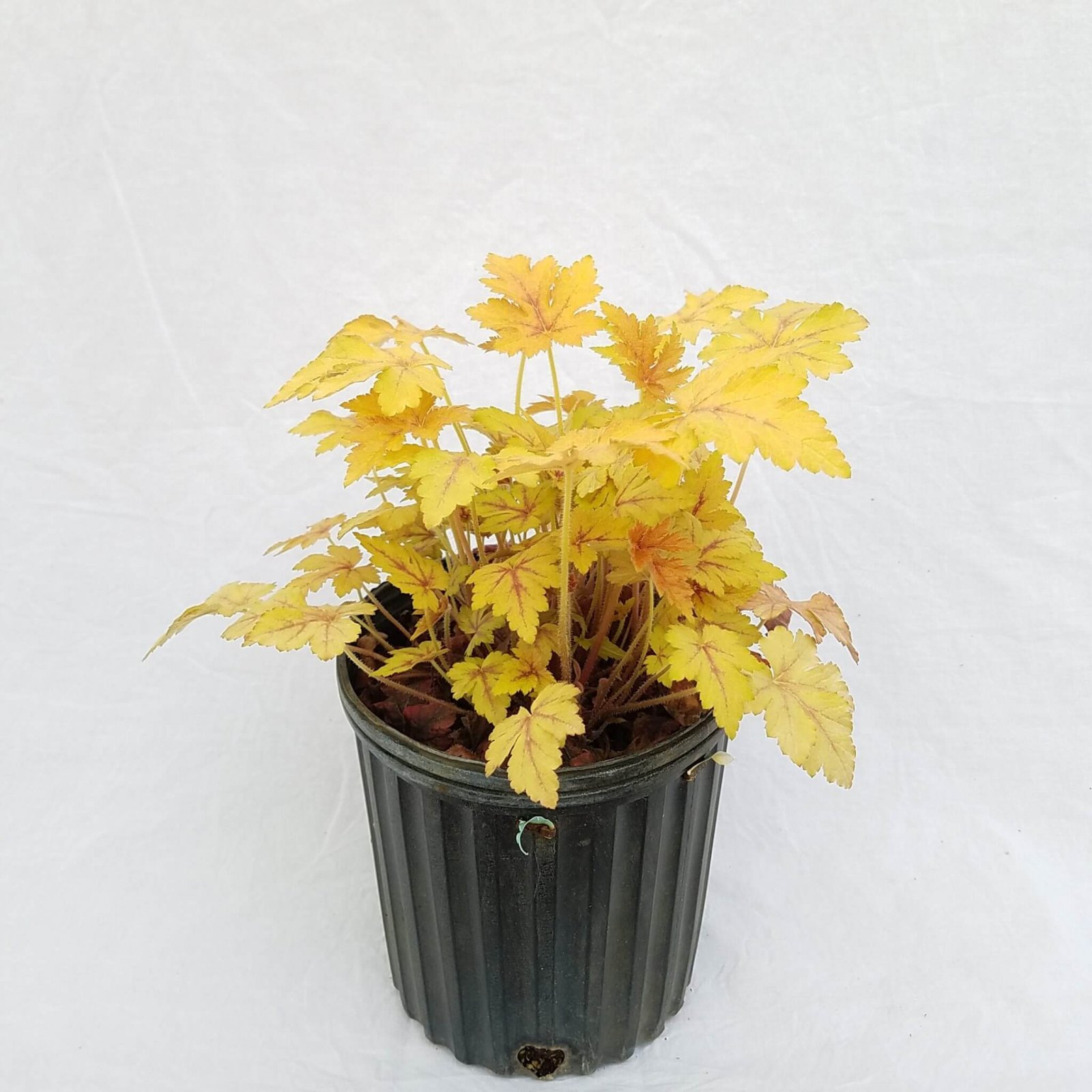 Heucherella 'Golden Zebra' - #1