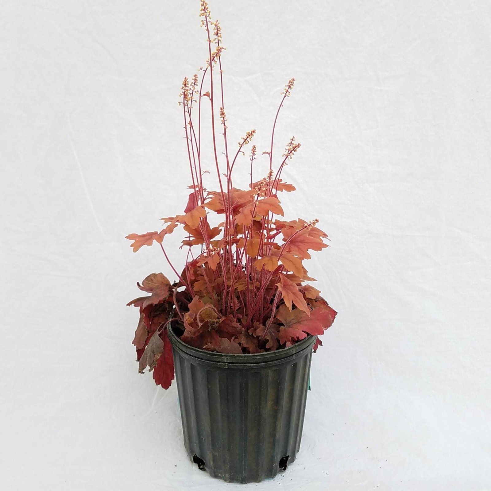 Heucherella 'Sweet Tea' - #1