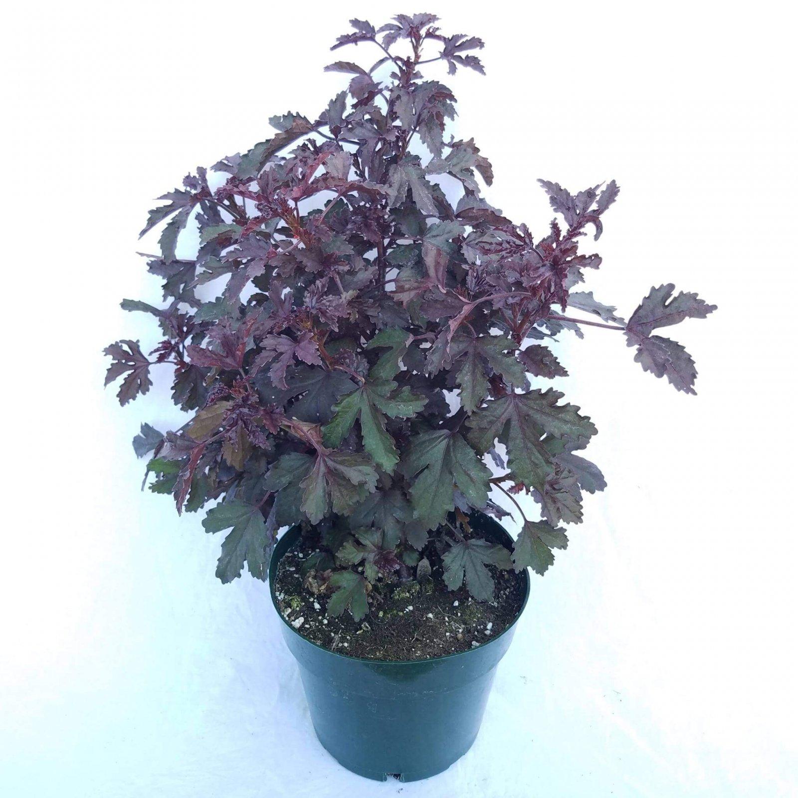 Hibiscus 'Little Zin' - 6 1/2
