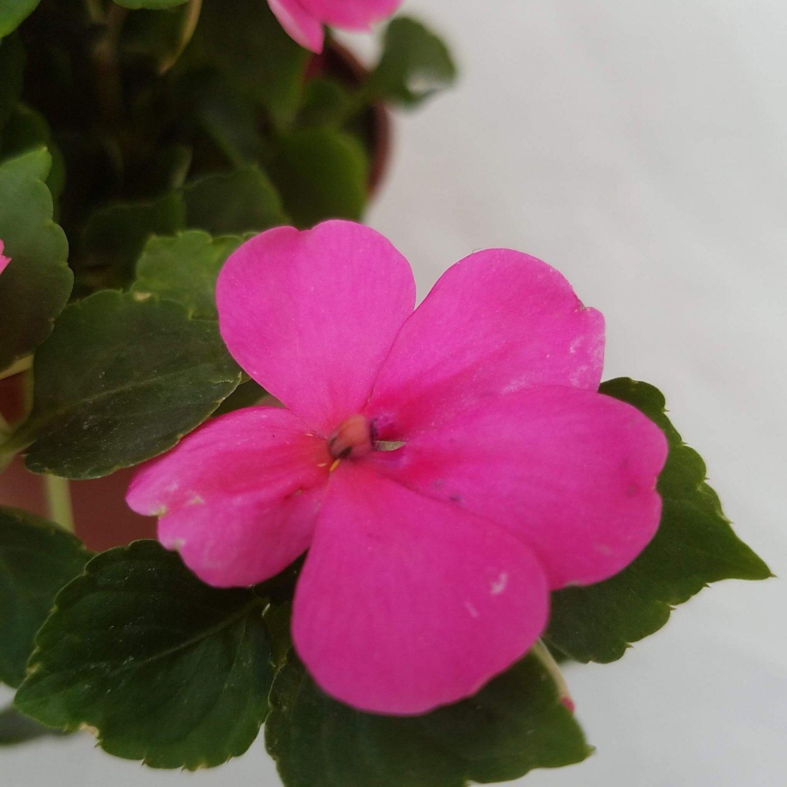 Impatiens 'S.E. Rose' - 4 1/2