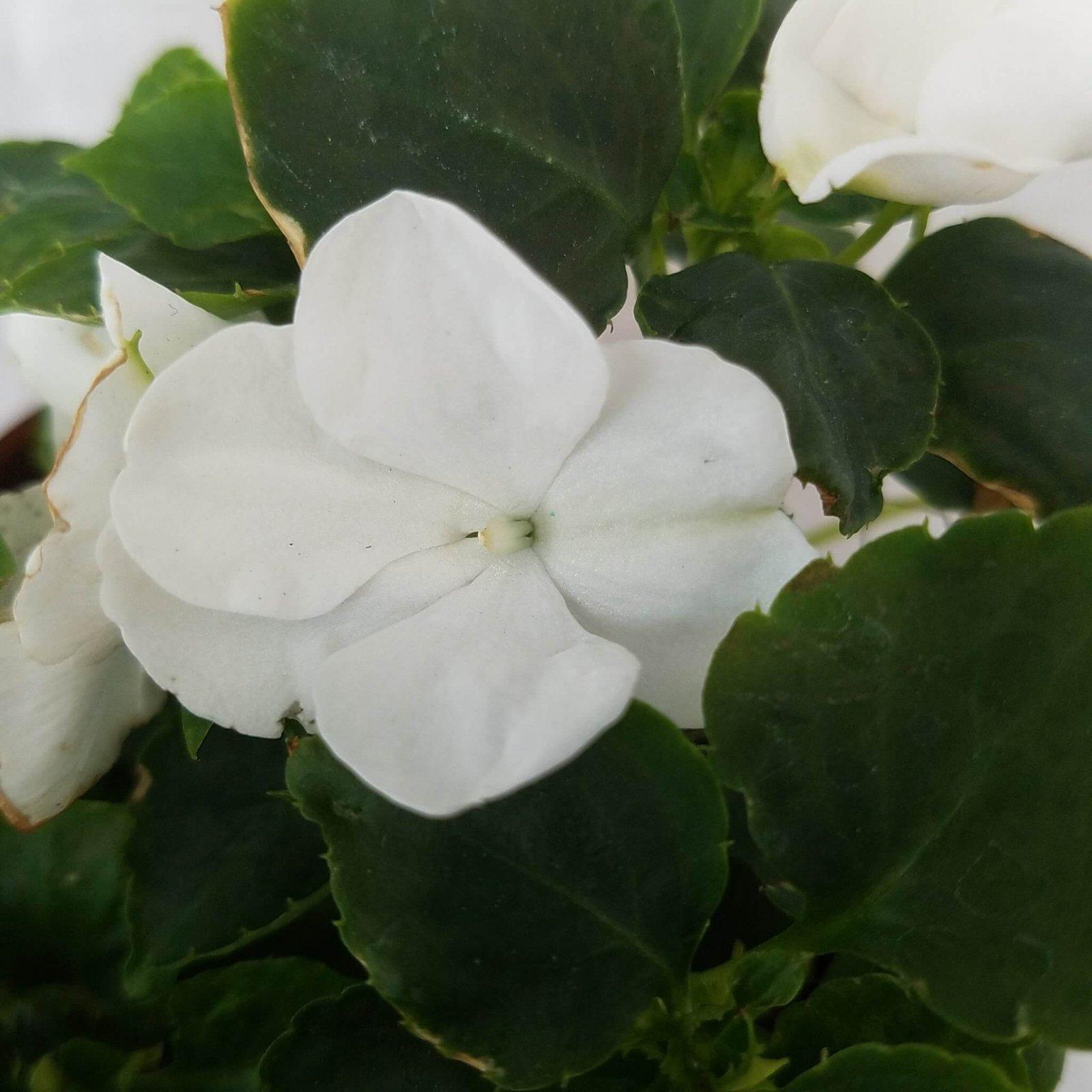 Impatiens 'S.E. White' - 4 1/2