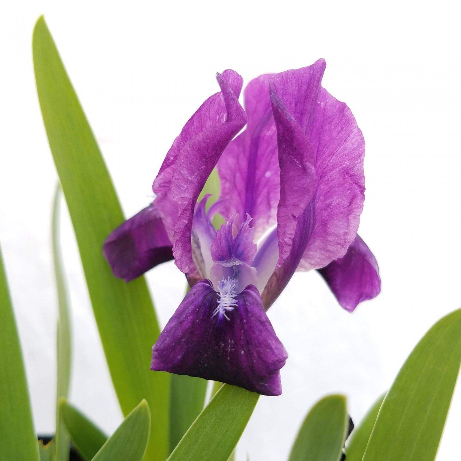 Iris cristata - #1