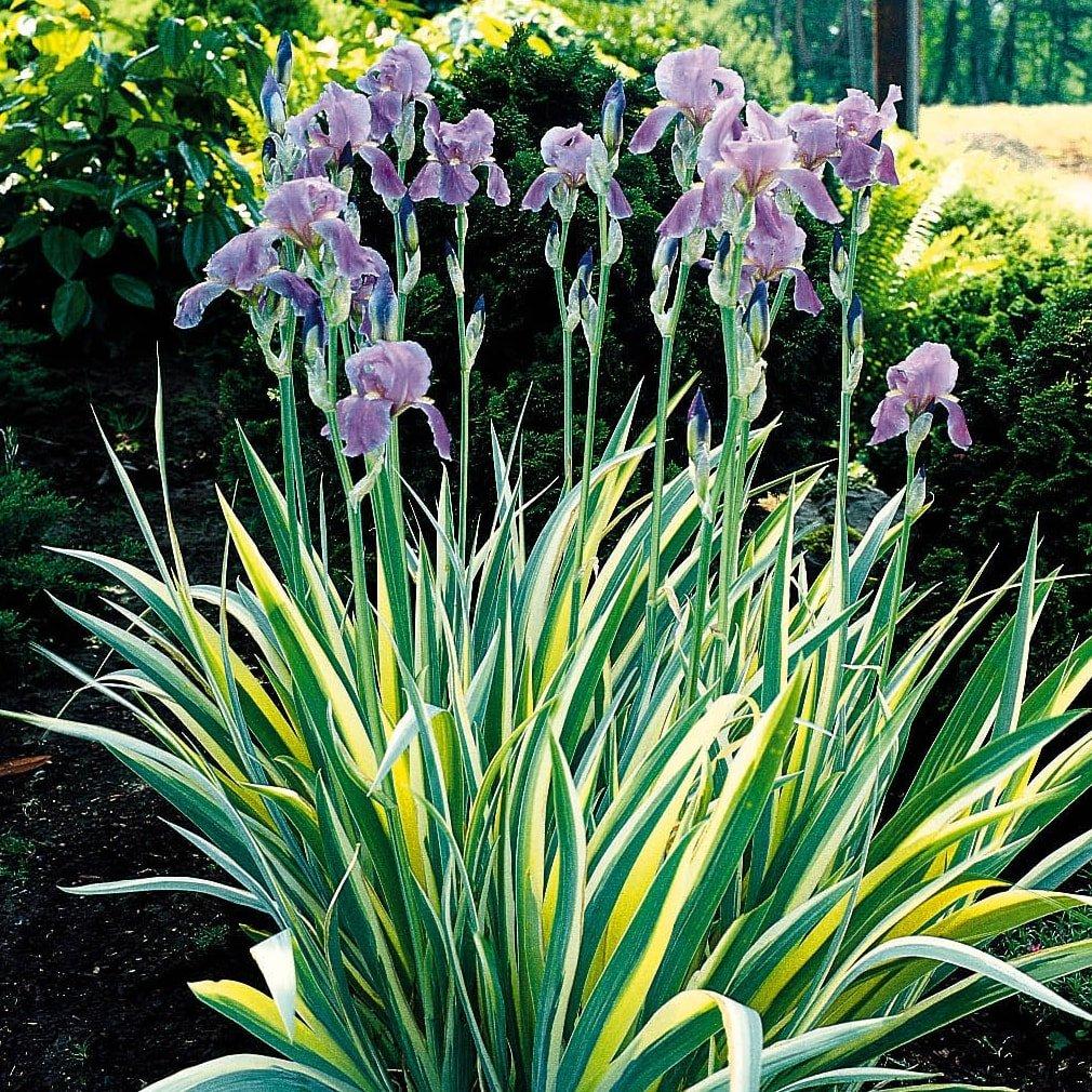 Iris ensata 'Variegata' - #1
