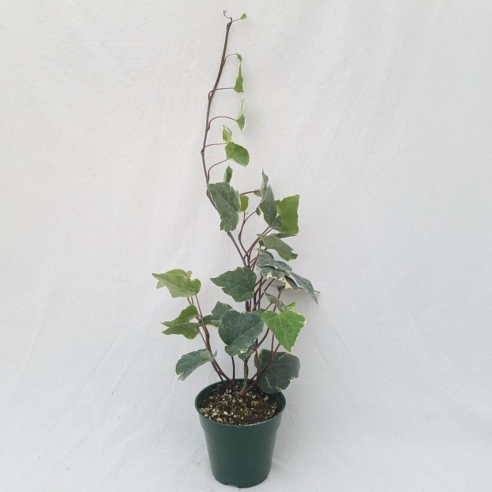 Ivy - Algerian Variegated - 4 1/2