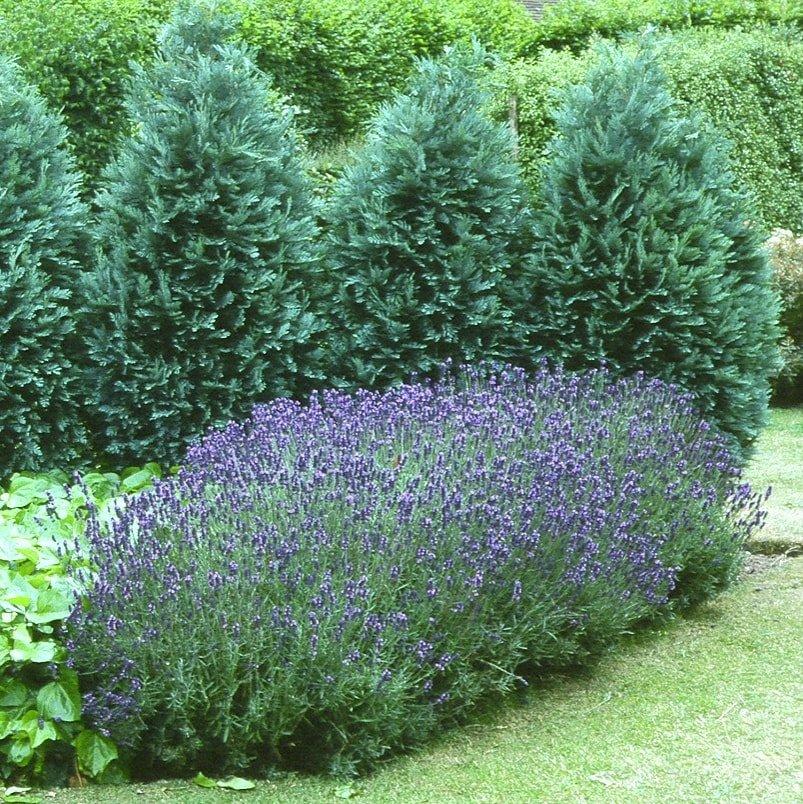 Lavandula angustifolia 'Hidcote' - #1