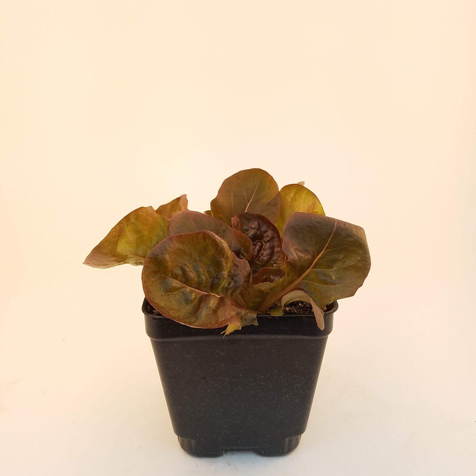 Lettuce 'Alkindus' ( Red Butterhead) - LM-18