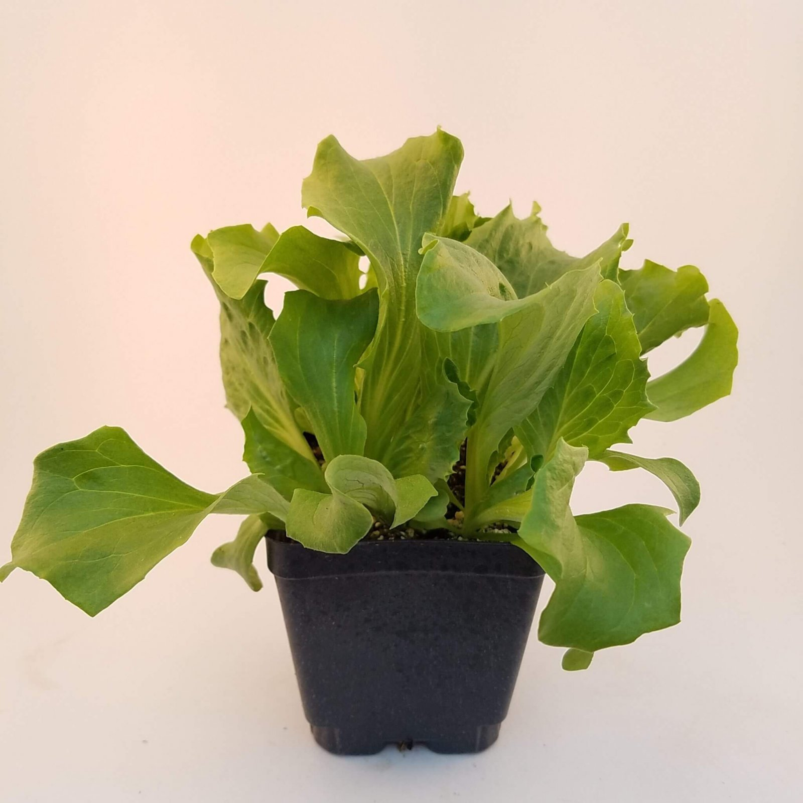 Lettuce 'Caretaker' (Head lettuce) - LM-18