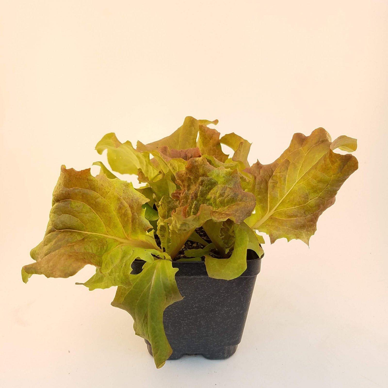 Lettuce 'Redfire' - LM-18