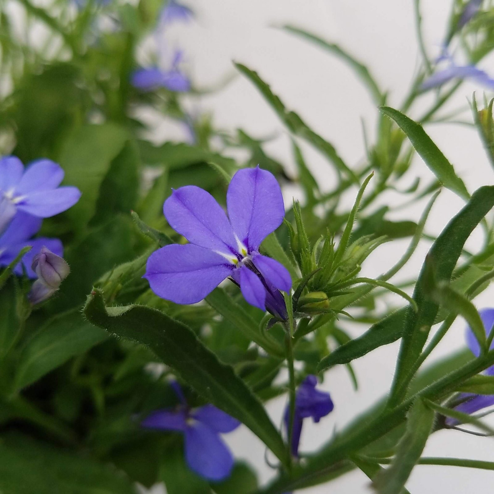 Lobelia 'Techno Heat Electric Blue' - 4 1/2