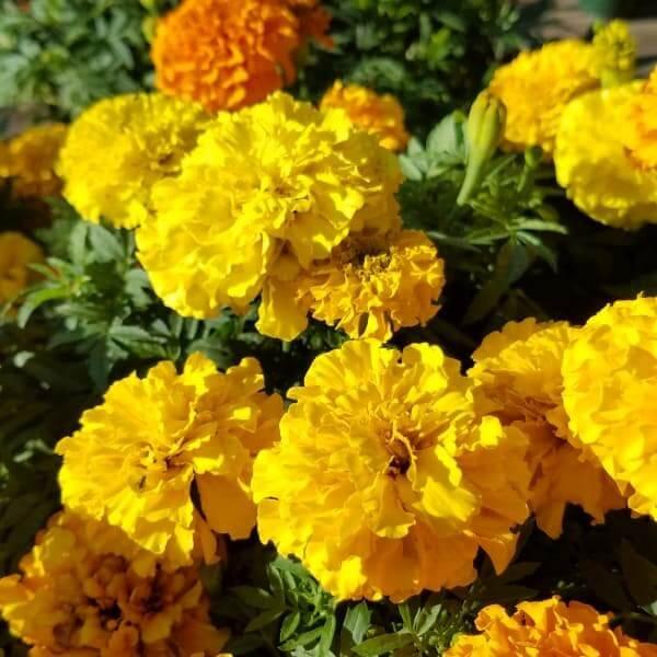 Marigold 'Taishan Mix' - 4 1/2