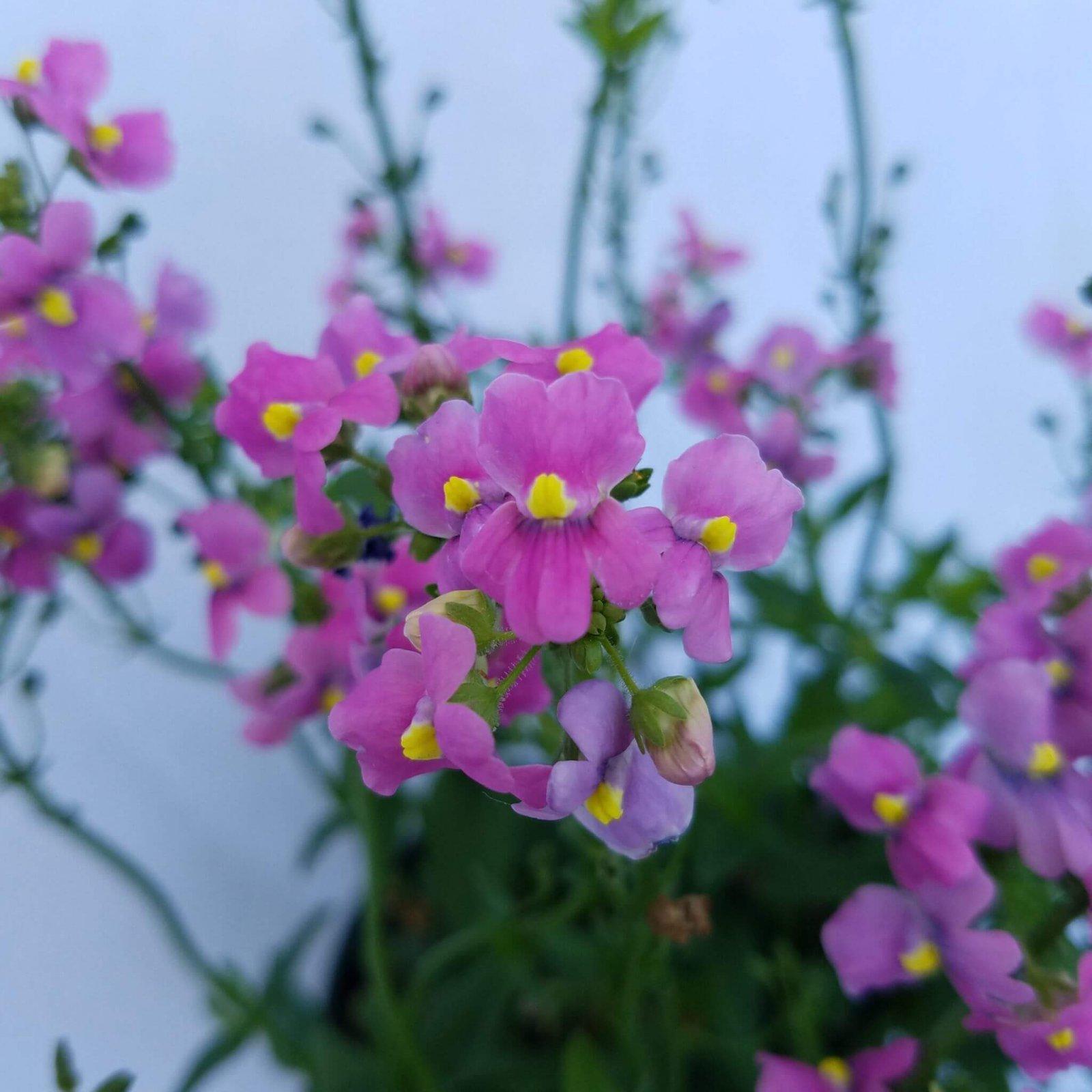 Nemesia 'Aromatica Rose Pink' - 4 1/2