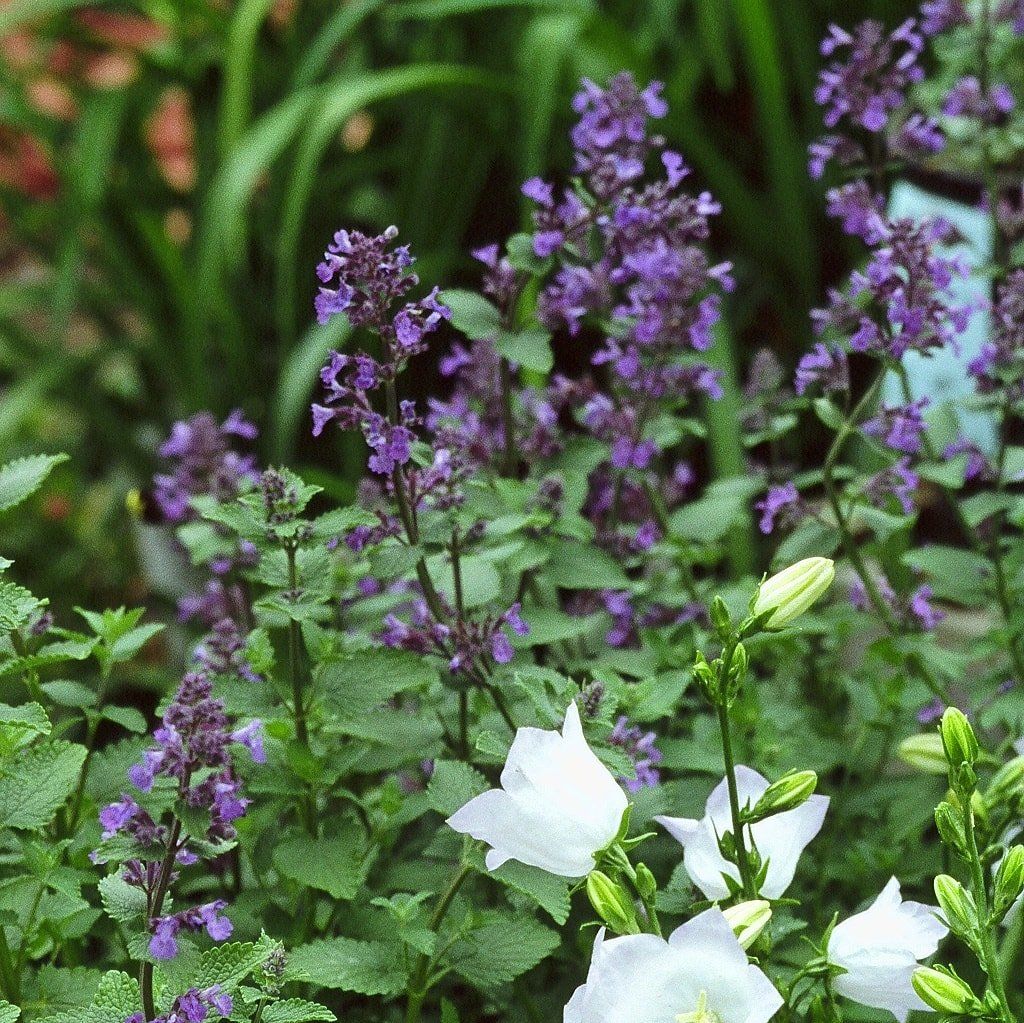 Nepeta mussinii 'Blue Wonder' - #1