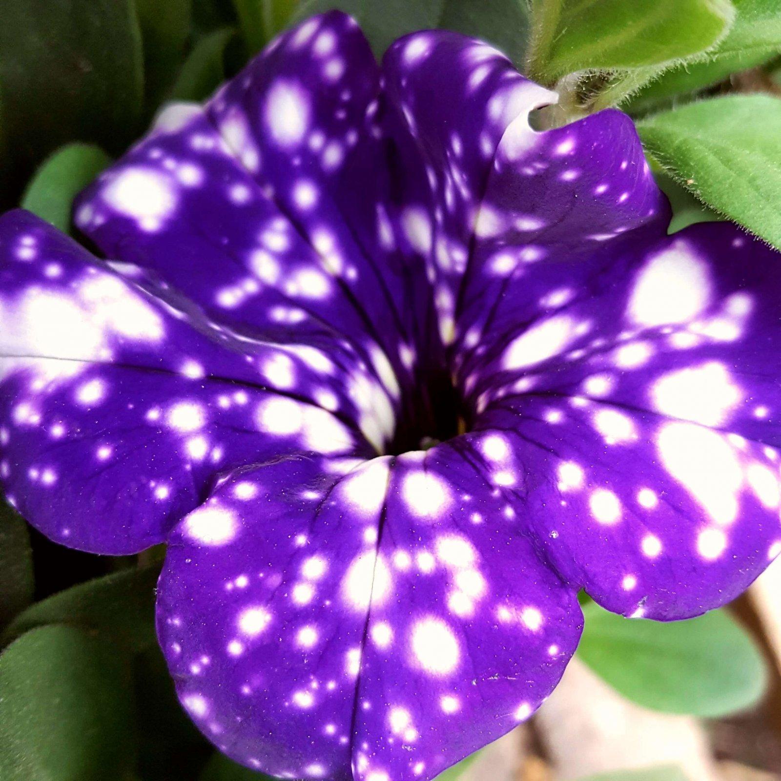 Petunia 'Night Sky' - 6 1/2