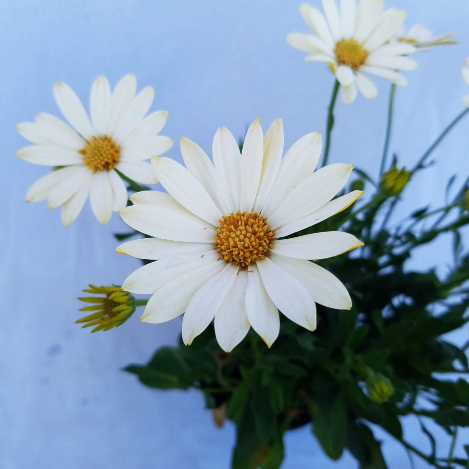 Osteospermum 'Voltage White' - 4 1/2