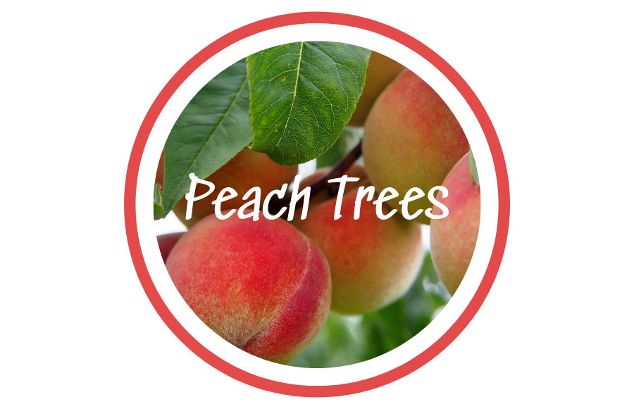 Peaches in tree