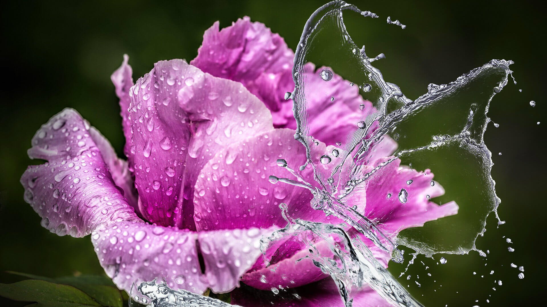 pink peony with water butterfly