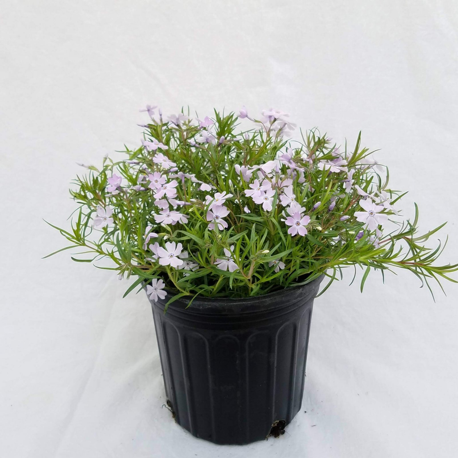 Phlox subulata 'Emerald Blue' - #1