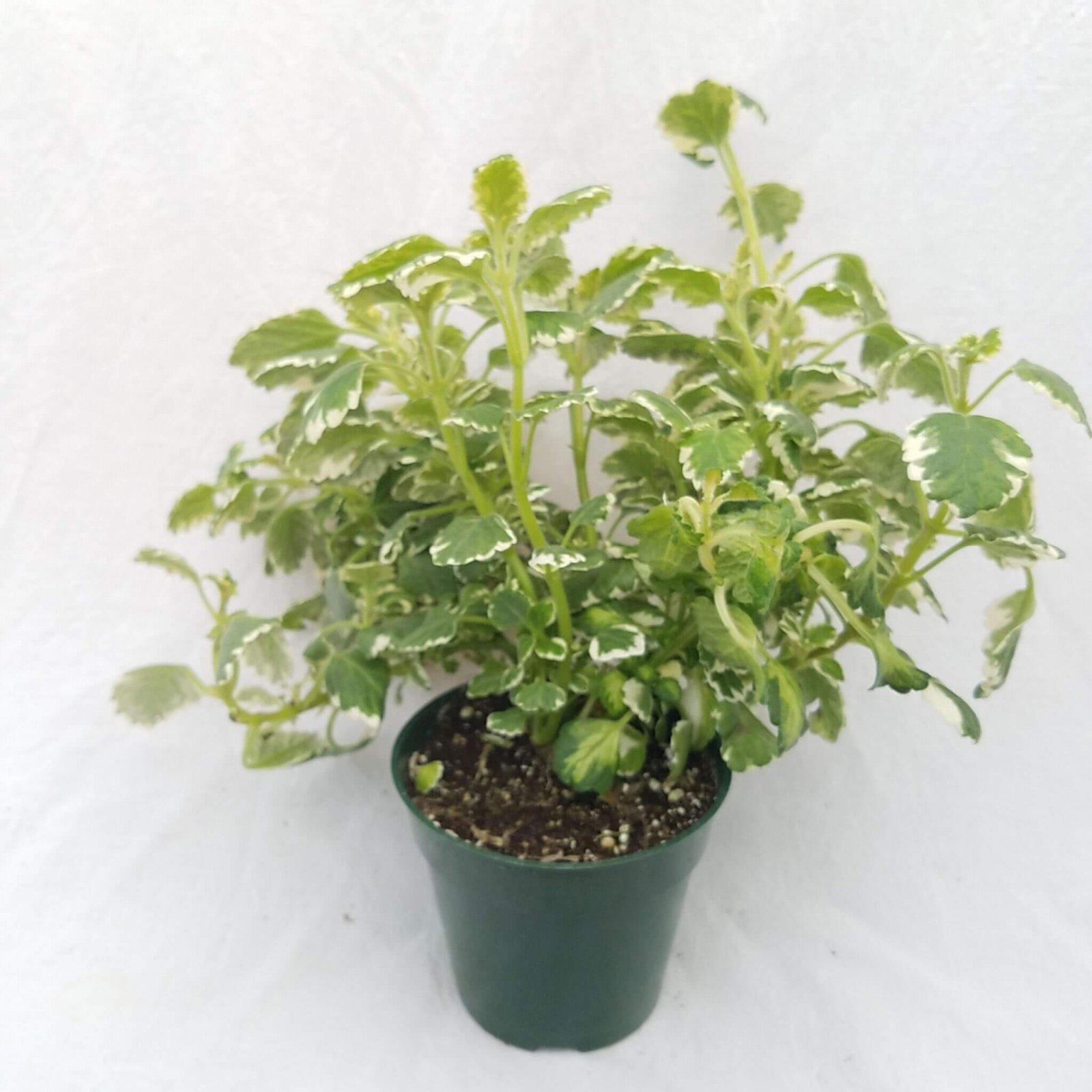 Plectranthus coleoides - 4 1/2 (Candle Plant)