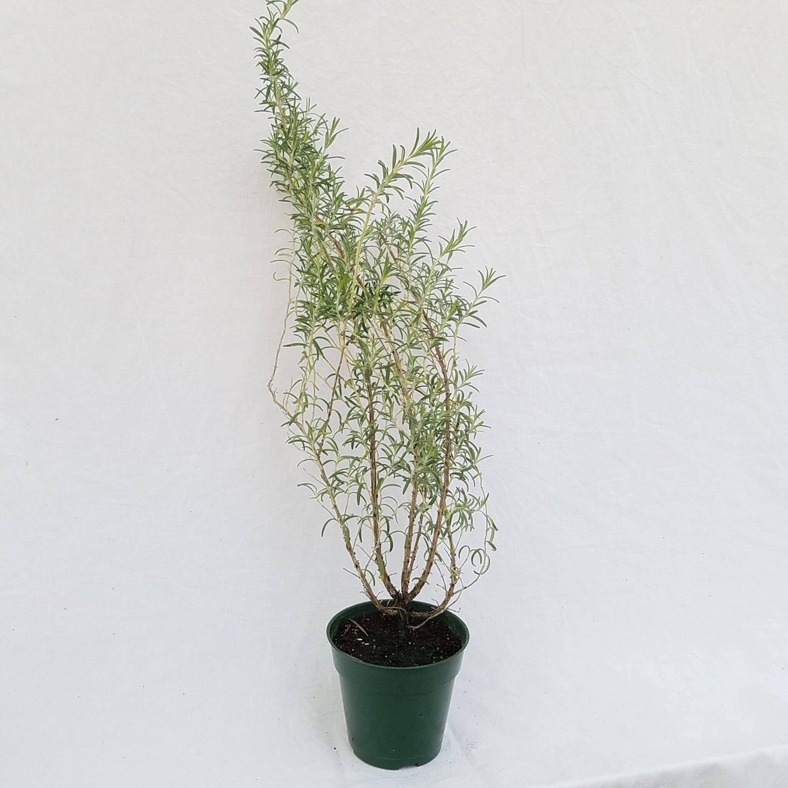 Rosemary 'Arp' - 4 1/2