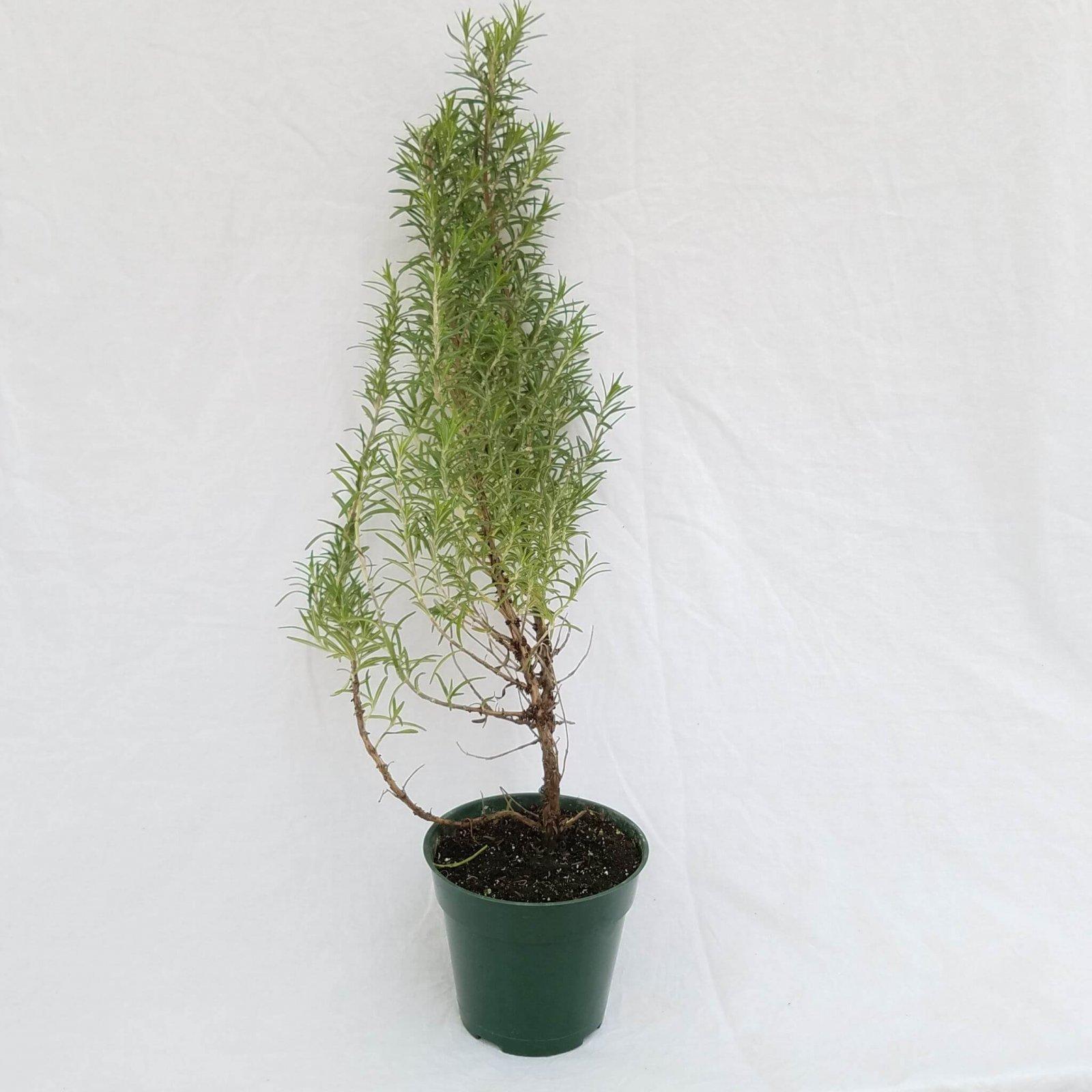 Rosemary 'Common' - 4 1/2