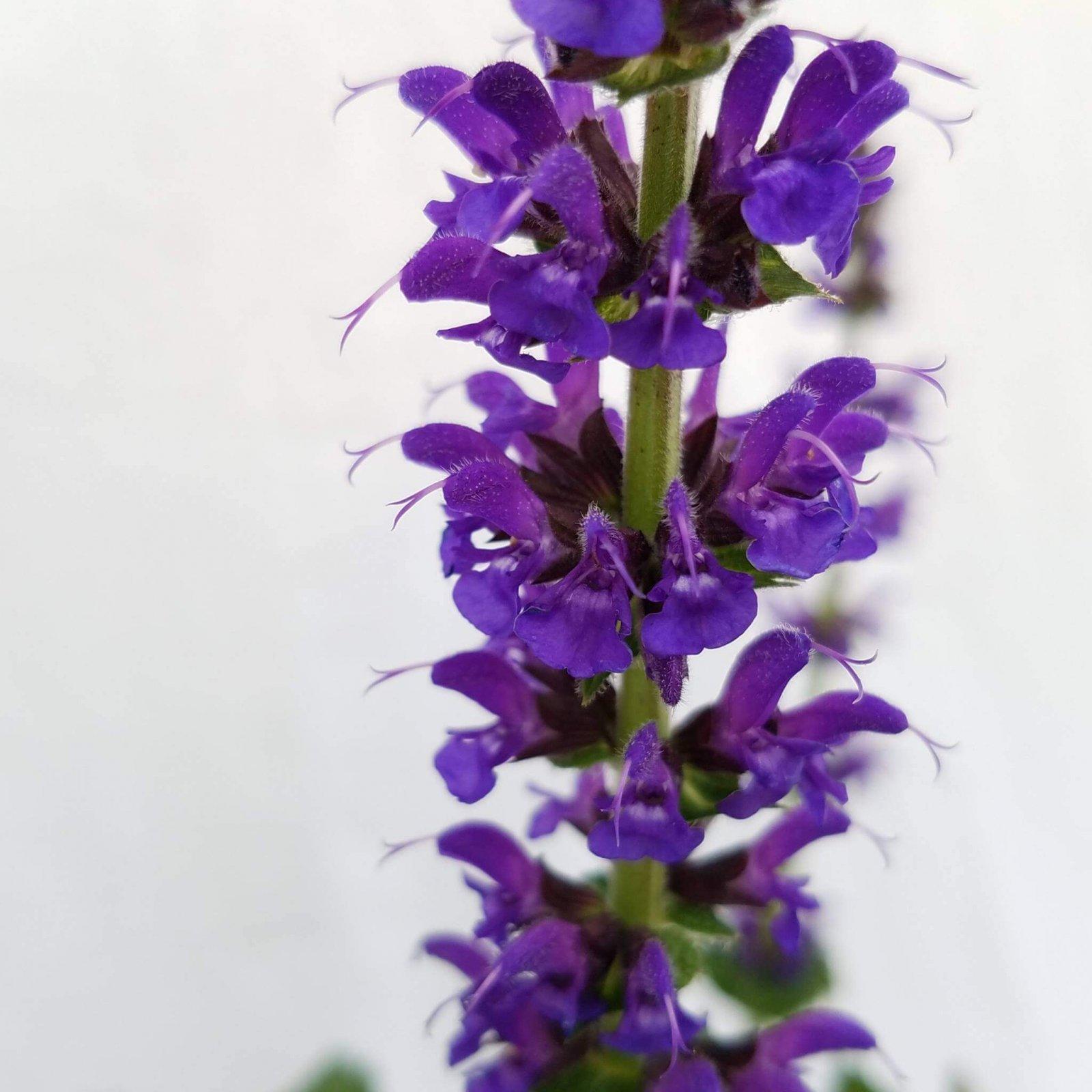 Salvia superba 'May Night' - #1