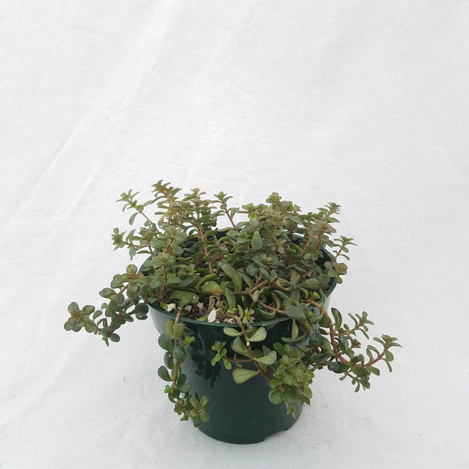 Sedum makinoi - 4 1/2 (Salsa Verde Stonecrop)