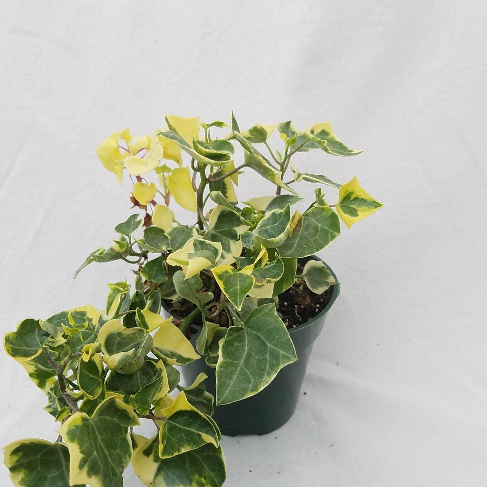 Senecio macroglossus 'Variegata' - 4 1/2