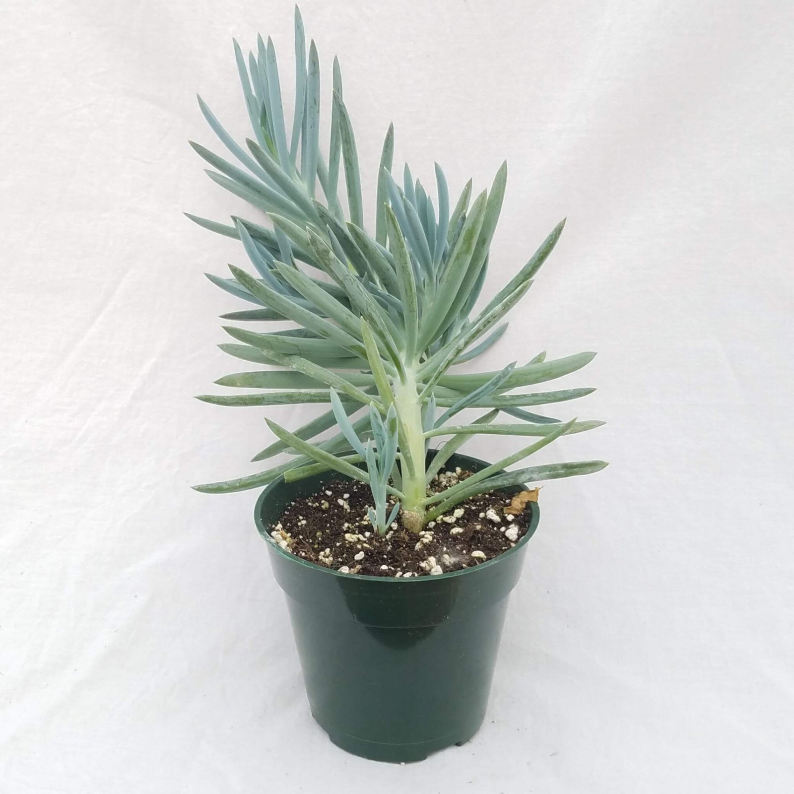 Senecio talinoides mandralis 'Blue' - 4 1/2