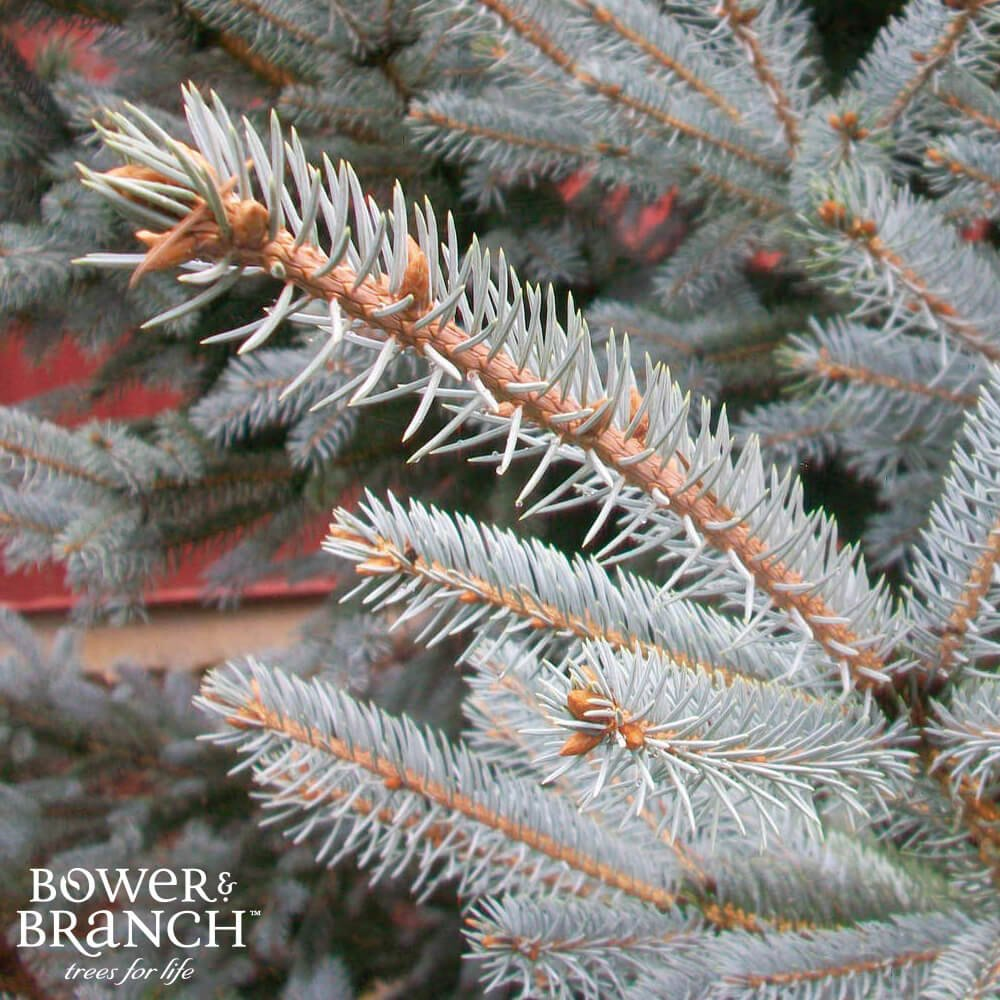 Evergreen tree branches