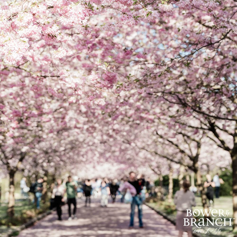 People walking under flowering trees