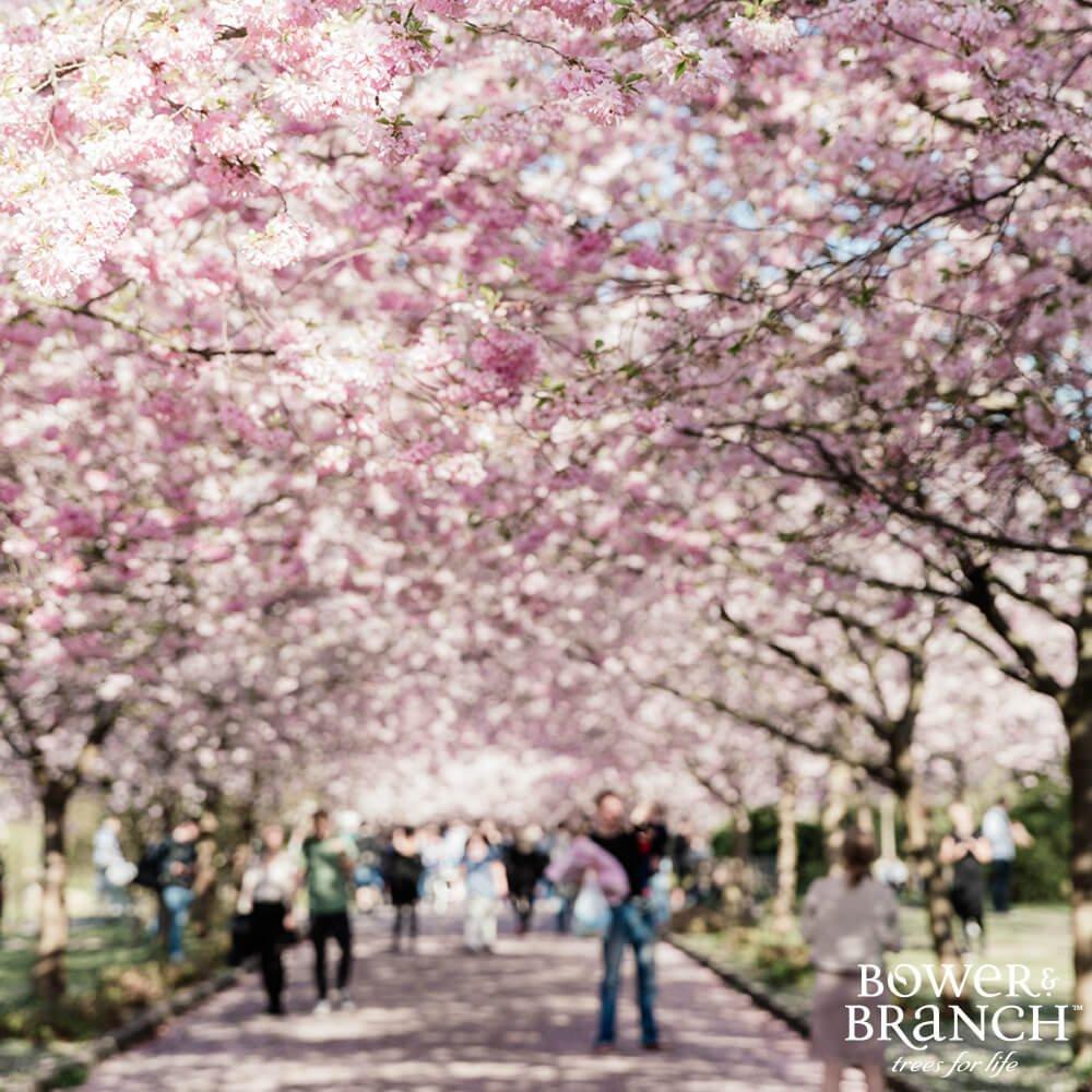 People walking under flowering trees