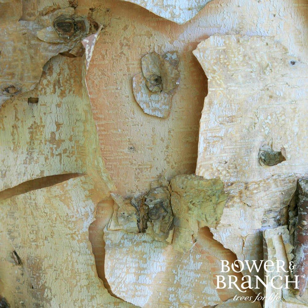 birch tree wood