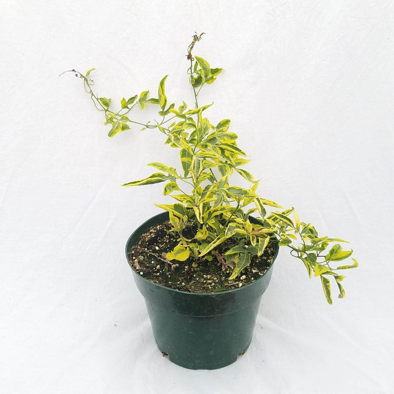 Solanum jasminoides 'Variegated' - 6 1/2